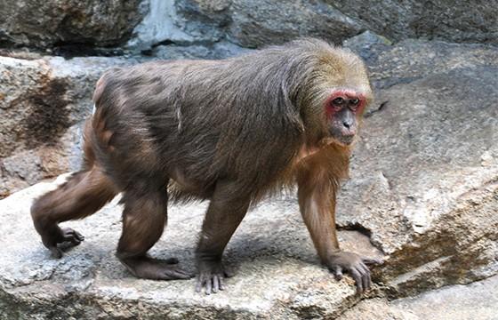 macaco cola de muñon