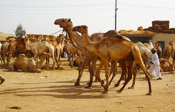 Mercado Birqash, Egipto. Mercados alrededor del mundo