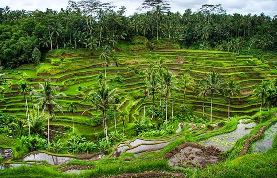 Vista de los cultivos de Ubud en Indonesia, Sudeste Asiático