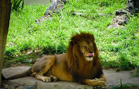 León en el Parque Nacional de Gir, India