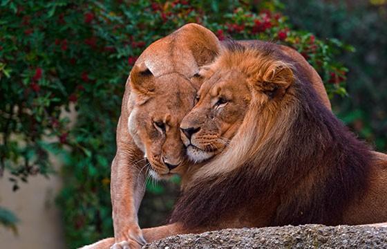 Par de leones en el Parque Zoológico de León