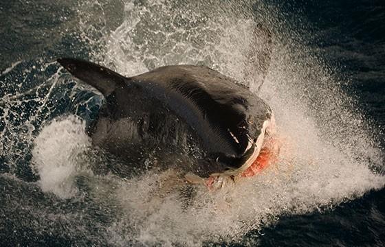 Ataques de tiburones en playas de Estados Unidos
