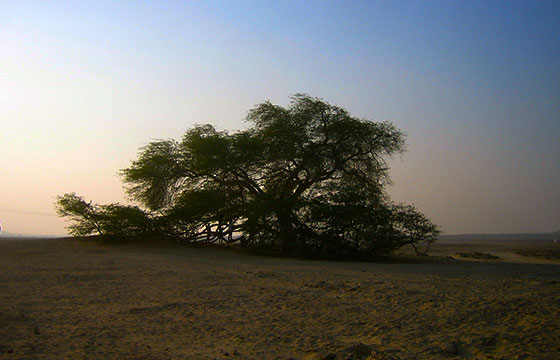 Tree of life, alone in the middle of the desert, Bahrain - البحرين-Romain Pontida-http://bit.ly/2236hxh-Flickr