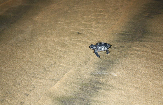 Baby sea turtles running for the ocean on the full moon-Robert Tadlock-Flickr