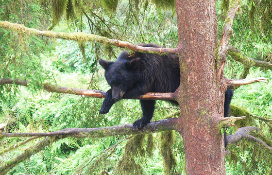 Black Bear in a tree - Anan Bay, Alaska-Editada-brewbooks-http://bit.ly/1r4kUA1-Flickr