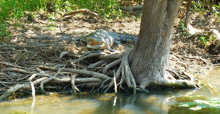 Croc cooling down