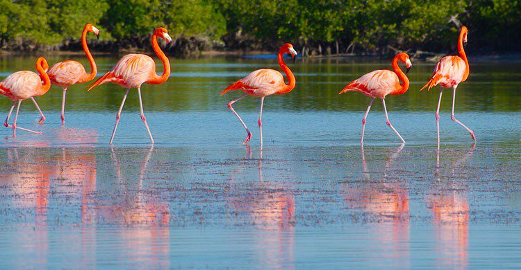 American Flamingoes (Phoenicopterus ruber)-Adam Baker-Flickr