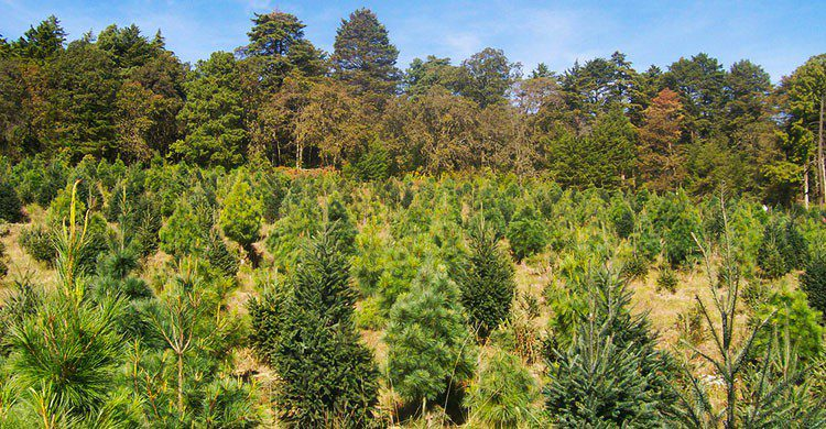Bosque de Árboles de Navidad