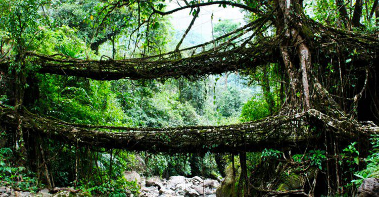 Puentes Vivos, India