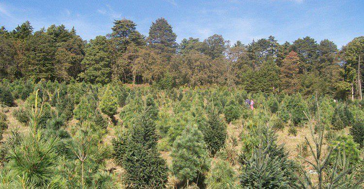 Flickr-Bosque de los Árboles de Navidad (2009)-ToÑo Drakko