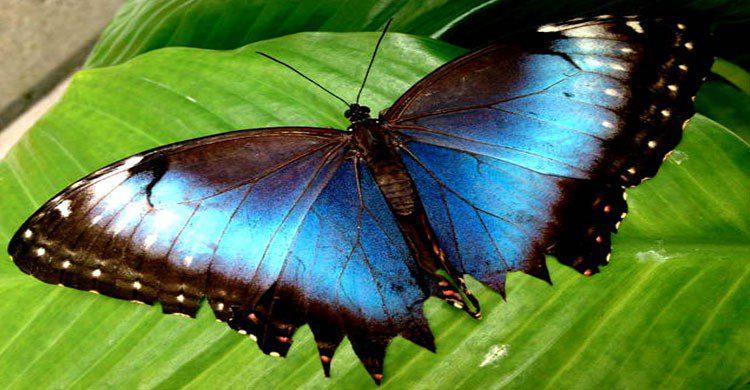 Mariposa azul en el mariposario de Chapultepec