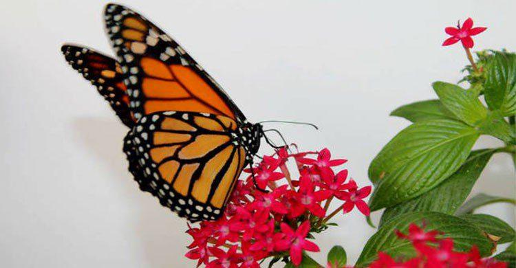 Mariposa Monarca en mariposario de chapultepec