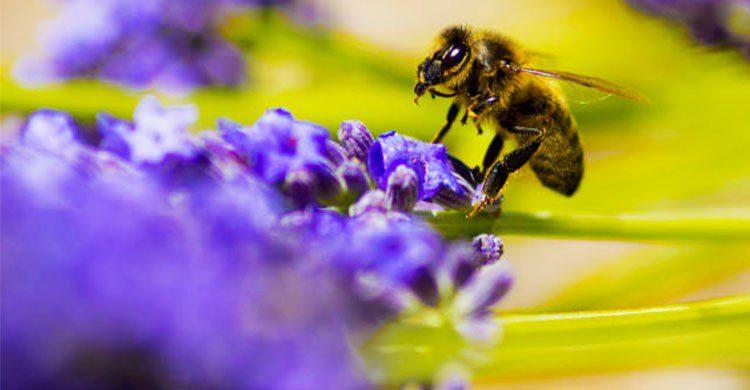 abeja en la lavanda