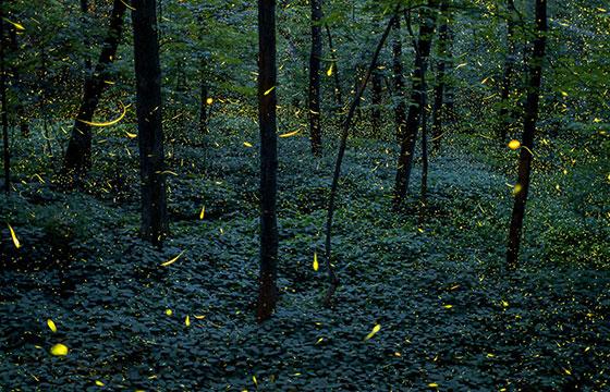 luciérnagas en el bosque