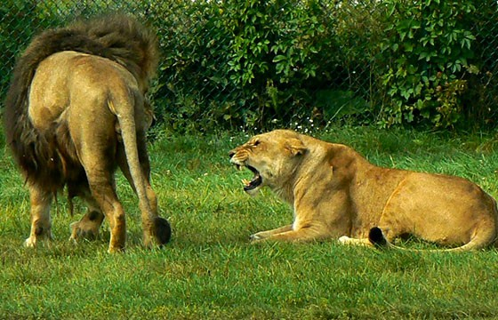 Leones en Africam Safari Puebla