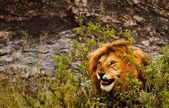 Vista de león en el Parque Kruger de Sudáfrica
