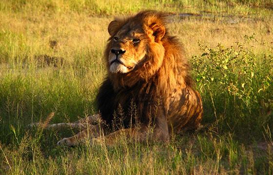 Vista de un impresionante león en Zimbabwe