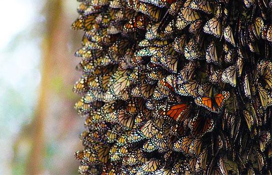 Cientos de mariposas monarca