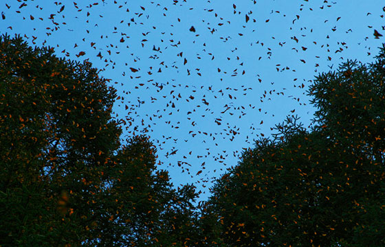 Reserva de la biosfera de la mariposa monarca