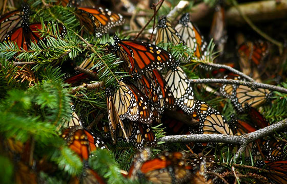 Santuarios de mariposa monarca