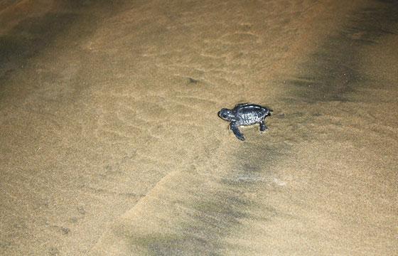 Baby sea turtles running for the ocean on the full moon-Robert Tadlock-Flickr