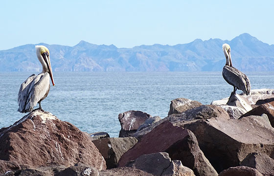 Pelicans on Rocks - Loreto - Baja California Sur - Mexico-Editada-Adam Jones-http://bit.ly/1Noa7dR-Flickr