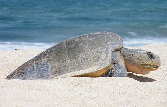 Sea turtle-Vadim Lavrusik-Flickr