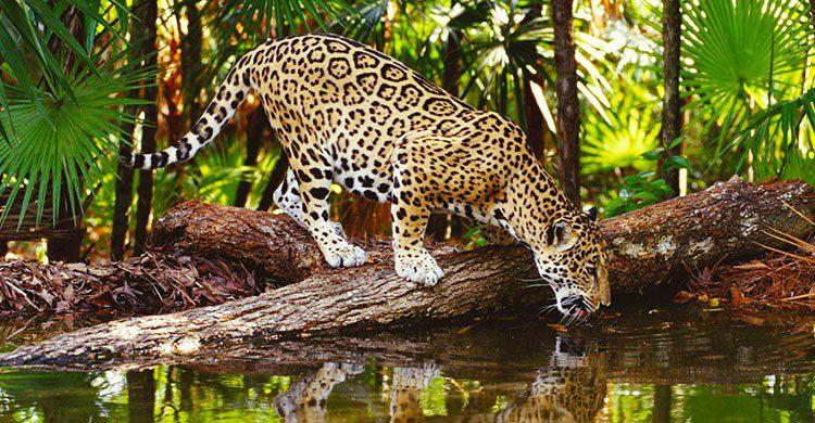 Jaguar de la Selva Lacandona