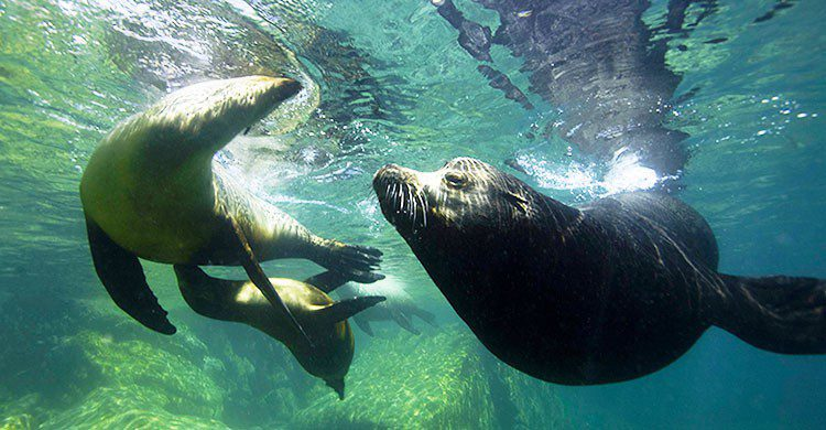 Lobos marinos en Mar de Cortez