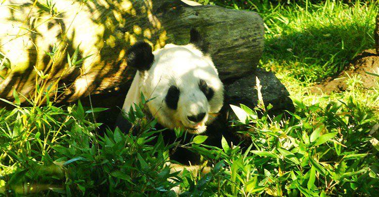 Oso panda de Chapultepec