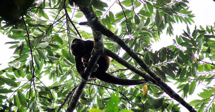 Flickr-082 - Alouatta paliata-Mr. Theklan-editada-http://bit.ly/2pH345V