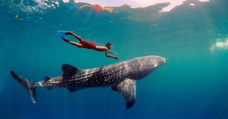tiburón-ballena