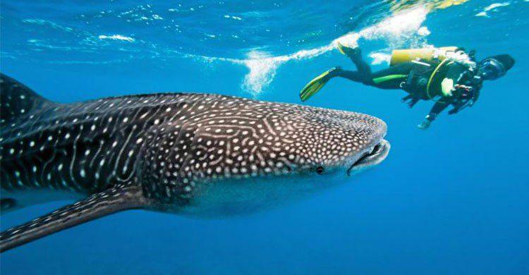 NAdo con el tiburón ballena Holbox