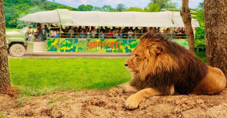 León en libertad en Bioparque, Nuevo león