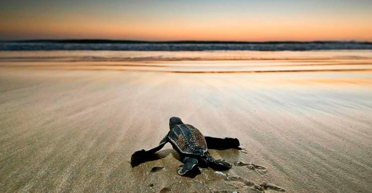 Tortuga sobre arena caminando hacia el mar al amanecer